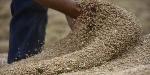 Milli buğdaylar toprakla buluşmak için gün sayıyor