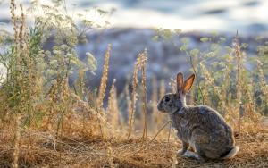 Akdamar adasını tehdit eden tavşanlar azaldı