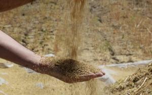 """Astronotların besin kaynağı """"kinoa""""nın ilk hasadı yapıldı"""