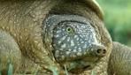 Fırat Kaplumbağalarına GPS takılacak