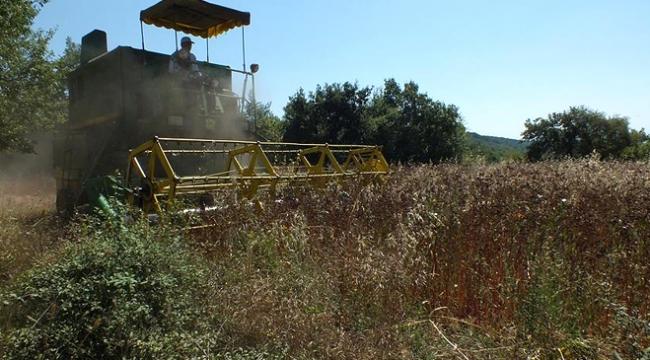 Bilecikte karabuğday hasadı başladı