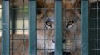 Suriyede hayvanat bahçelerindeki hayvanlar Türkiyeye nakledildi