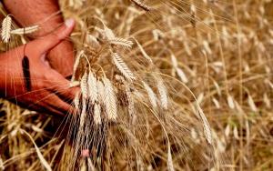"""Buğdayın atası """"siyez""""in hasadı başladı"""