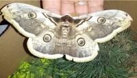 Dev Kelebek Görenleri Şaşırtıyor