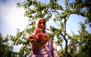 Antalyadaki turist canlılığı Bursa şeftalisine yaradı