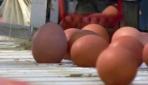 Avrupadaki zehirli yumurta skandalı büyüyor
