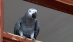 Bu papağan söylediği kelimelerle herkesi şaşırtıyor