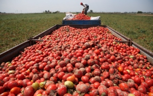 Karacabey Ovasında domates hasadı sıkıntılı başladı