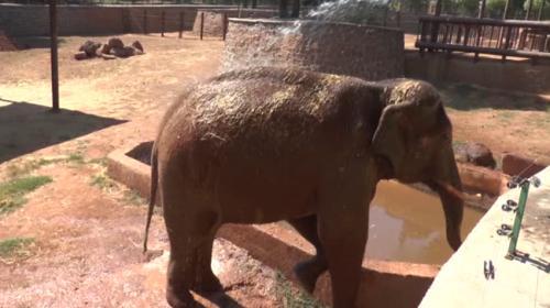 Sıcaktan bunalan filler çamurlu suyla serinledi
