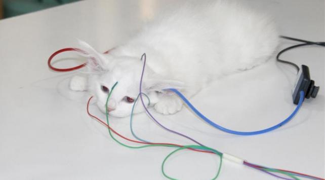 Van kedilerine işitme testi yapılıyor