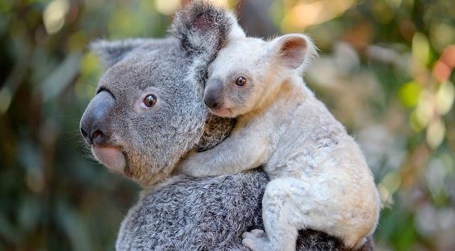 Avustralyada doğan beyaz koalaya isim aranıyor