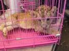 Cizre'de araçta aslan yavrusu bulundu