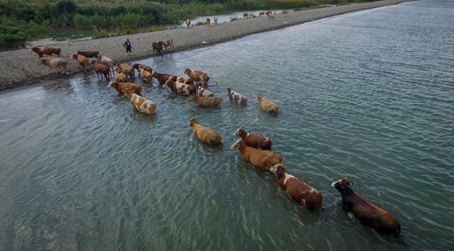 Hayvanlarını Van Gölünde serinletiyorlar
