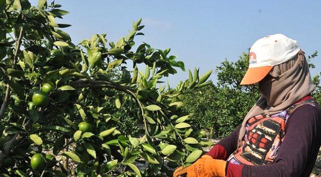 Hatayda sezonun ilk mandalina hasadı