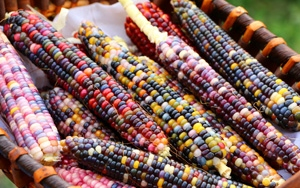 Bahçesinde rengarenk mısırlar yetiştirdi