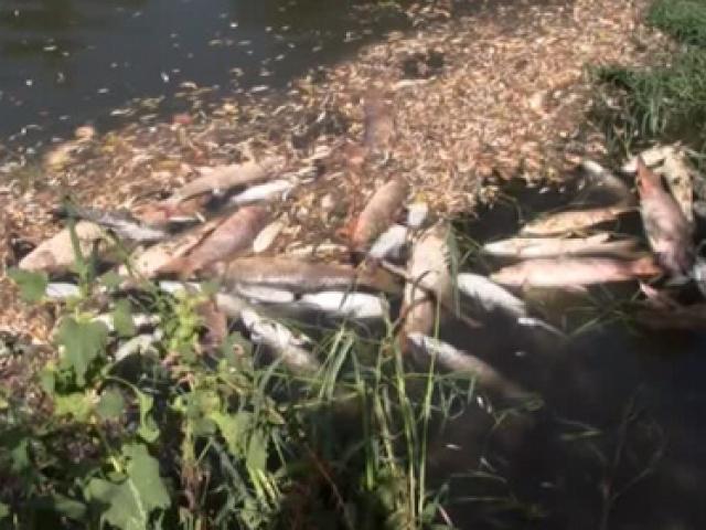 3 günde yüzlerce balık telef oldu