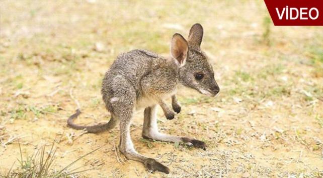 Yavru kanguru Pinky