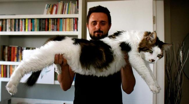 7,5 kiloluk kedi görenleri şaşırtıyor