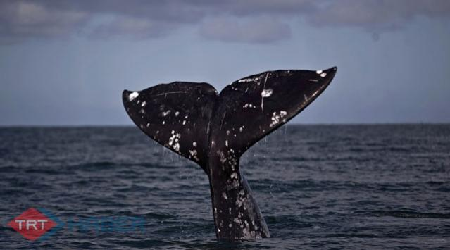 Avustralyada yaklaşık 275 balina sığ sularda mahsur kaldı