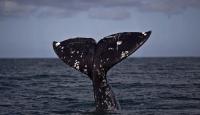 Avustralya'da yaklaşık 275 balina sığ sularda mahsur kaldı