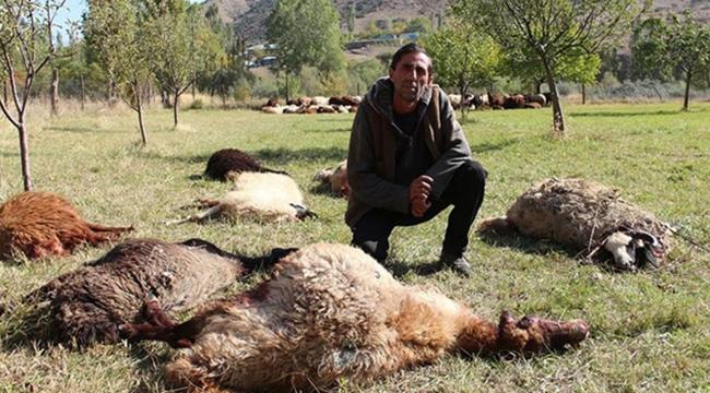 Çoban uyuyakaldı; kurtlar 40 koyunu telef etti