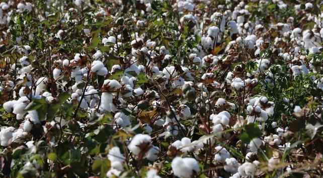 Pamuk üretimi 187 bin tona yükselecek