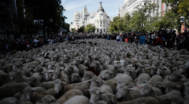 Binlerce koyun ve keçi Madrid sokaklarında