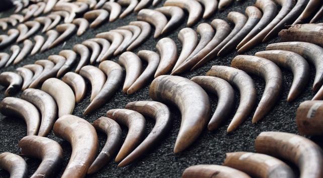 10 yılda 111 bin fil dişleri için katledildi