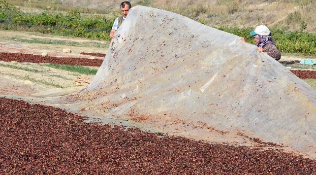 500 ton toz biber alıcısını bekliyor