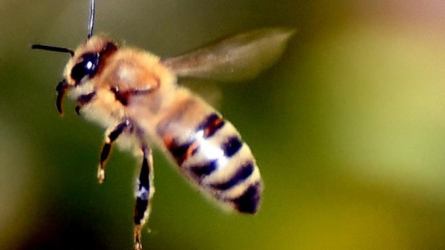Suya dalıp çıkabilen robot arı üretildi