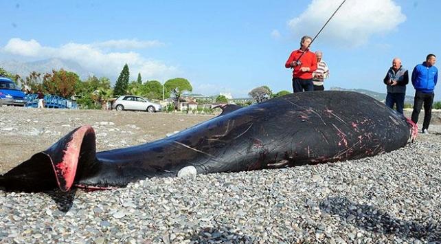 Antalya sahilinde ölü balina bulundu