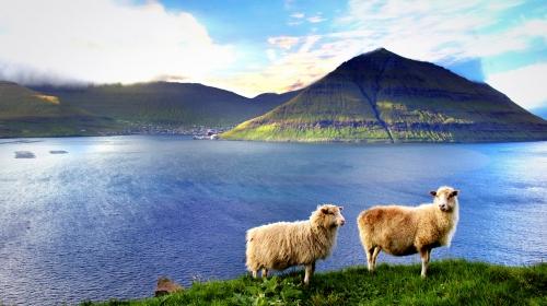 Faroe Adalarının kameraman koyunları