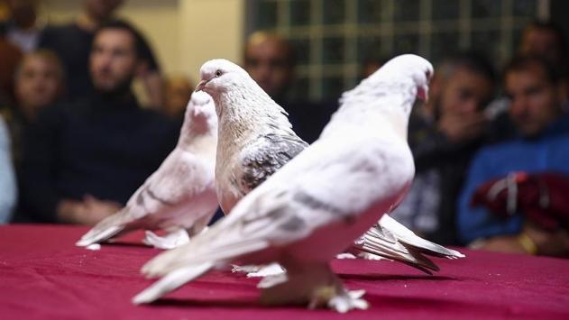 Saf Anadolu ırkı şebap güvercinleri Ankarada yarıştı