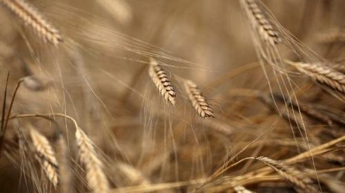 """Buğdayın atası """"Siyez"""""""