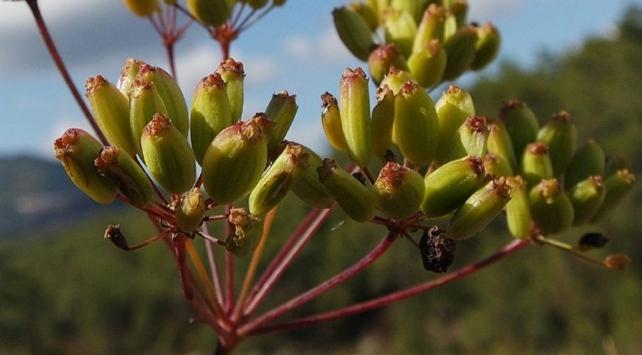 Dünyada sadece İzmirde belirlenen yeni bir bitki türü keşfedildi