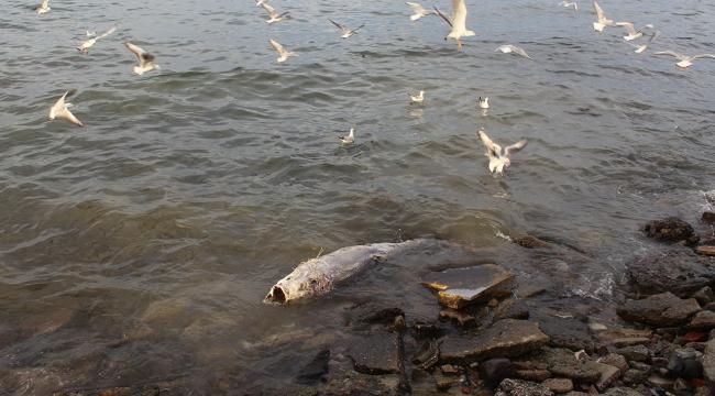 150 kiloluk dev orkinos kıyıya vurdu