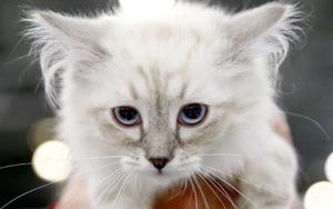 Moskovada uluslararası kedi fuarı başladı