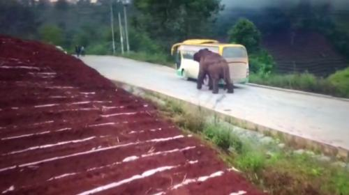 Çinin Yunnan eyaletinde, fil otobüse ve kamyonete saldırdı