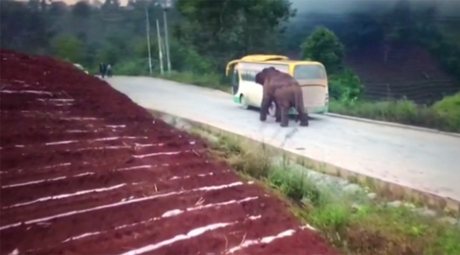 Öfkeli fil önce otobüse sonra kamyonete saldırdı
