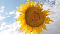 Yağlı tohumlu bitkilerde destek başvuruları