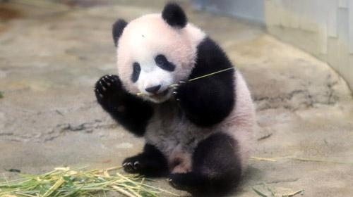 Japonyanın yavru pandası ilk kez kamera karşısında