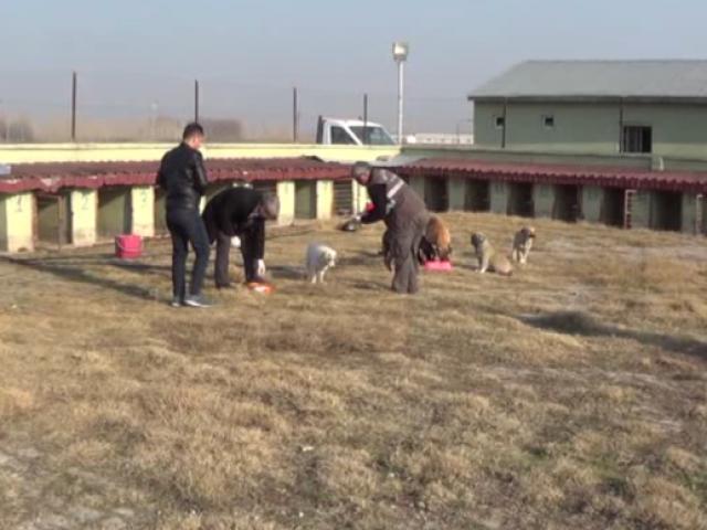 Iğdırda sokak köpekleri aşılanıyor, parazit taraması yapılıyor