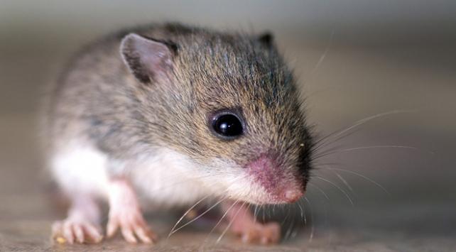 Fransada bakanlıkları fareler bastı