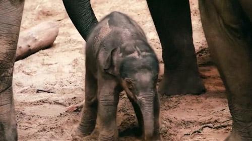 Belçikada yeni doğan fil, ilgi odağı oldu