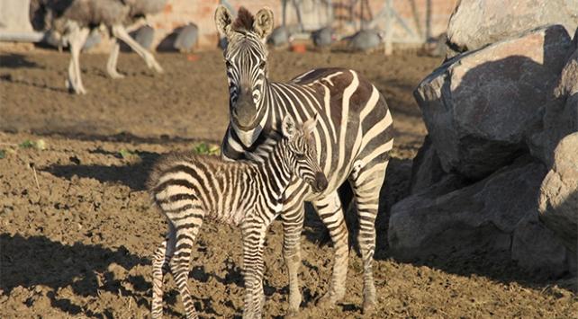 İzmir Doğal Yaşam Parkında yavru zebra sevinci