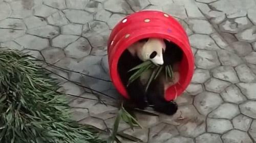 Sevimli panda Fafa, yeni oyuncağıyla oynamaya doyamıyor