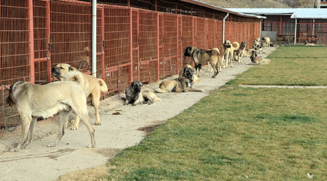 Dünyada kendisini kanıtlamış en iyi sürü koruma köpek cinsleri Çankırıda yetişiyor