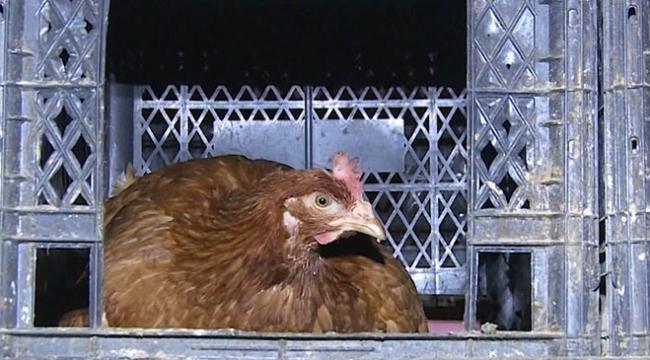 """Tavuklarının verimi """"müzik"""" ile artırdı"""