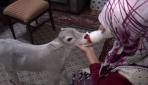 Annesinin süt veremediği buzağıyı evde büyütüyor
