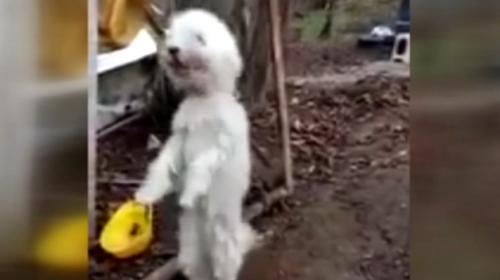 Giresunda sevimli köpek kemençe sesini duyunca horon oynuyor